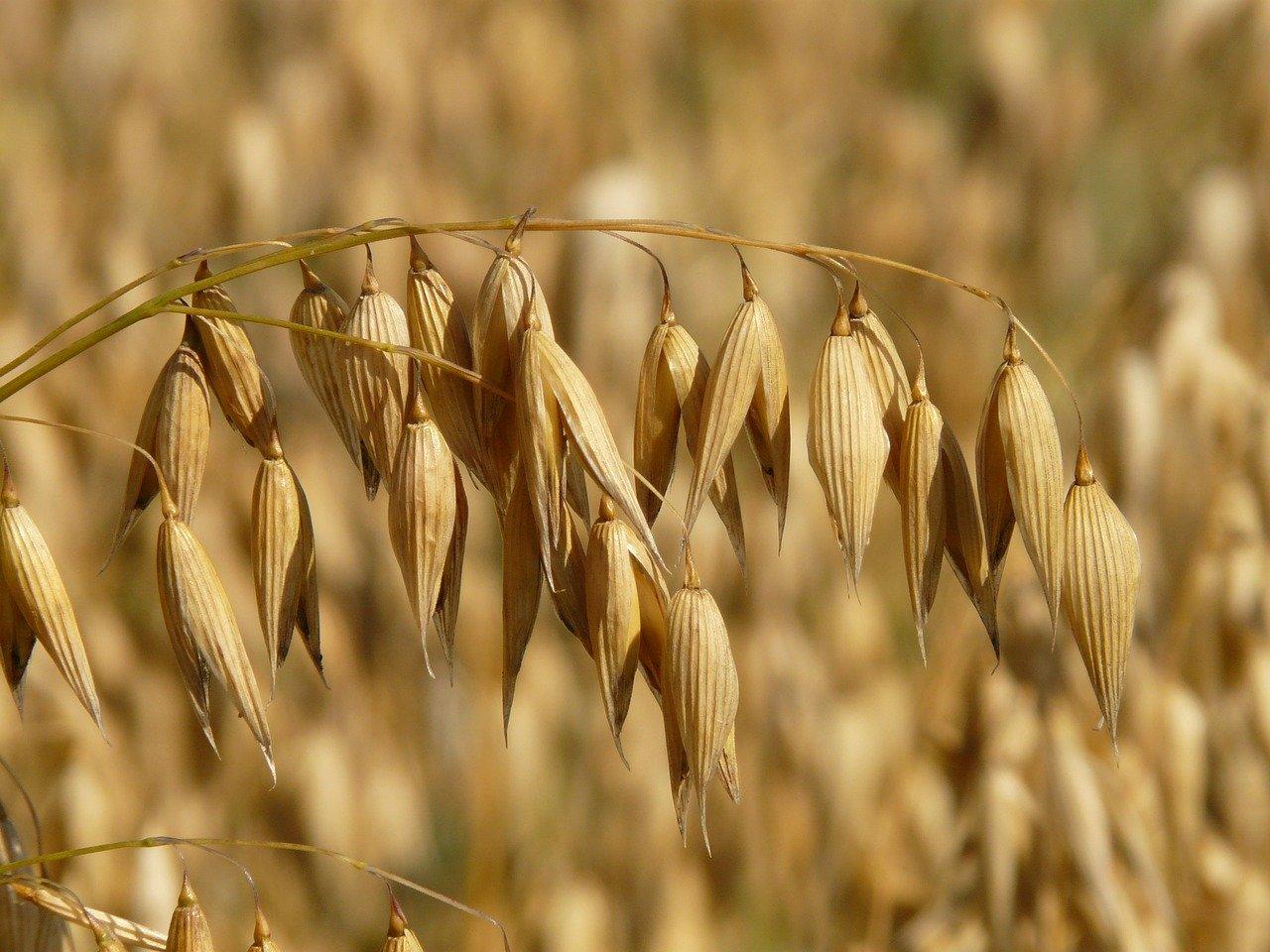 オートミールの原料「燕麦、オート麦」